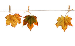 Maple branch hanging on clothesline isolated Stock Photos