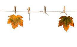 Maple branch hanging on clothesline isolated Royalty Free Stock Photography
