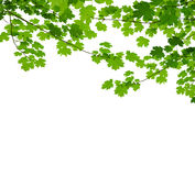 Maple branch Stock Photography
