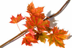 Maple branch with leafs. Maple branch covert in leafs Stock Photo