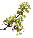 Maple branch with leaves and blossom Royalty Free Stock Photography