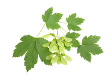 Maple branch Royalty Free Stock Images
