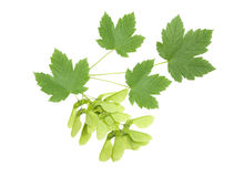 Maple branch Royalty Free Stock Photo