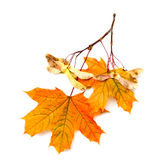 Maple branch with seeds and leaves Royalty Free Stock Images