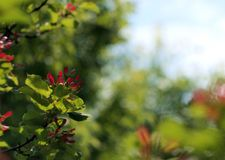 Maple branch with seeds and leaves. Maple branch with red seeds and green leaves on a soft bokeh Stock Photo