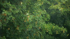Maple branch swaying in wind Royalty Free Stock Image
