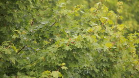 Maple branch swaying in wind. stock footage