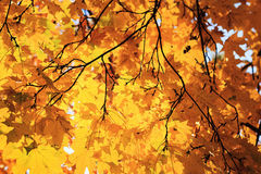 Maple branch Stock Image