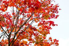 Maple branch tree on sky background in autumn season, maple leaves turn to red, sunlight in season change, Japan Stock Photos