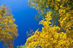Free Maple Branch With Yellow Leaves Royalty Free Stock Photography - 21603847
