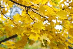Maple branch Stock Photos