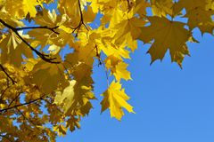 Maple branch with yellow leaves against a clear sky. Maple branch with yellow leaves on a clear autumn day in the park stock photos