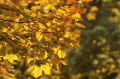 Maple branch with yellow leaves Stock Photography