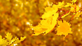 Maple branch with yellow leaves on fall background copy space Royalty Free Stock Photography