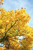 Maple branch with yellow leaves Stock Images