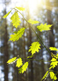 Maple branches Royalty Free Stock Photo