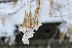 Maple branches covered with hoarfrost, beautiful winter outdoor theme royalty free stock images