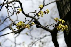 Maple branches with flowers. Sring background. Stock Photo