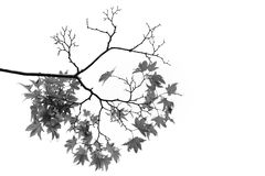 Maple branches  and leaves Stock Images