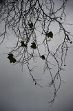 Maple branches  and leaves Stock Photo