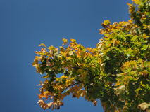 Maple branches. On a sunny late summer day Stock Image