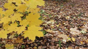 Maple branches swaying in the wind. On a background of fallen leaves stock video