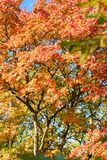Maple with bright red leaves. Sunlit maple with bright red leaves in autumn; large tree with large branches and colorful autumn leaves royalty free stock image