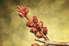 Maple Tree Buds. Maple buds on gold/brown/gray background Stock Photography