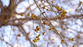 Maple Buds on a tree branch. Maple Buds on the branch of the tree in early spring against the sky stock footage