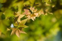 Maple and butterfly with beautiful background Stock Photo