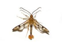 Maple Callus Border Moth. Isolated Moth on White Background Stock Photos