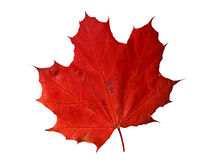Maple changing color in fall Stock Images