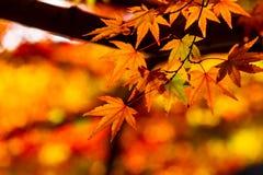 Maple Stock Image