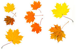 Maple colored fall leaves Royalty Free Stock Photos