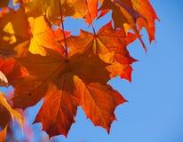 Maple. Colorful autumnal maple foliage on blue sky Stock Photo