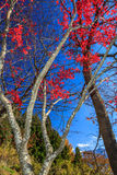 Maple. Colorful maple leaf background in autumn,  Japan Royalty Free Stock Photography