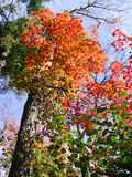 Maple colors. Focus on a tree Stock Photography