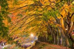 Maple Corridor Of Japan Royalty Free Stock Image