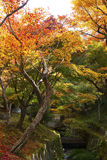 The maple and the creek. In Japan Stock Images