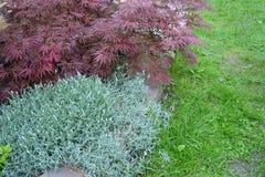 Maple dlanevidny of 'Bloodgood' (Acer palmatum) and Biberstein's (Cerastium biebersteinii). Maple dlanevidny of 'Bloodgood' (Acer palmatum (Thunb.) Thunb.) and Stock Images