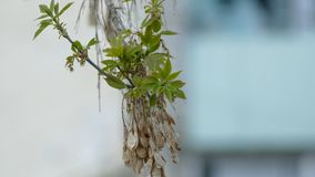 Maple dried seeds on a branch of maple spring day stock video footage