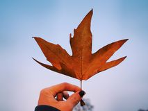 Maple dry leaf. Dry leaf brown maple tree on the sky royalty free stock images