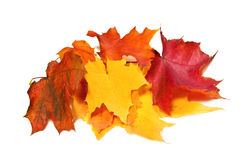 Maple fall colored leaves Royalty Free Stock Photos