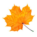 Maple fall leaf Royalty Free Stock Image