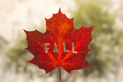 Maple fall leaf Stock Photo