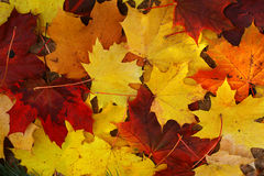 Maple fallen leaves Stock Photography