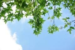 Free Maple Foliage Stock Photos - 11786573