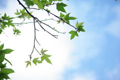 Maple foliage Stock Images
