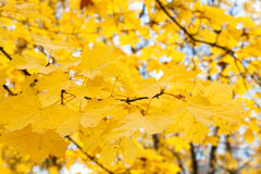 Maple foliage Royalty Free Stock Images