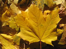 Maple foliage Stock Images